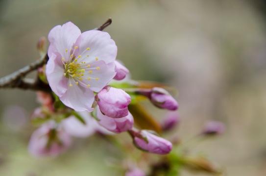 開花情報通りの三分咲き。んもー。