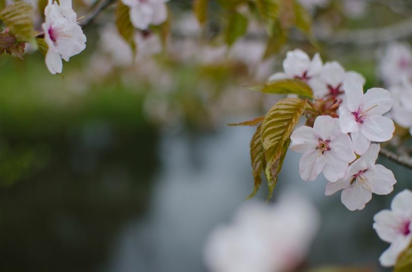 引き画だと寂しい局所的開花。